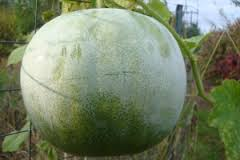 ash_gourd